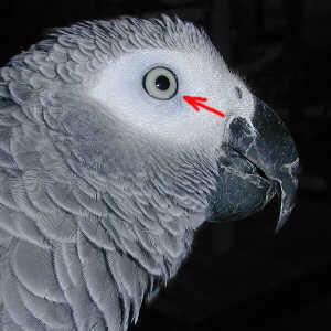 Характерна особеност на окото на женско кралско жако