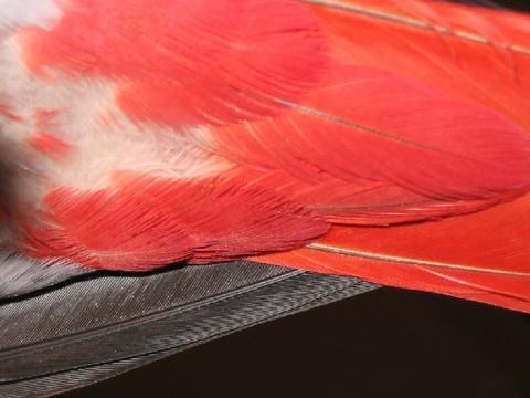 Средните опашни пера на Джаки гледани отдолу са чисто червени, без ивица покрая. Това е белег за мъжка птица