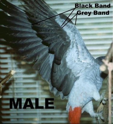 Черна и сива ивица под крилото на мъжко кралско жако