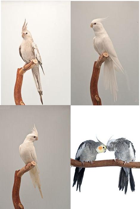 корели албинос