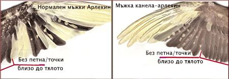 Специфики при мъжка и при женска корела-арлекин