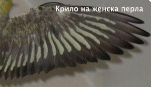 Крило на женска перлена корела