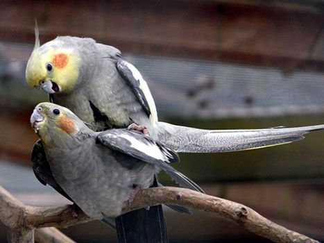 mating tiels