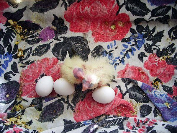 яйца и бебета