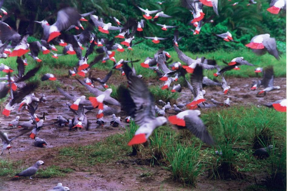 Жако, отлитащи от място за пиене на вода. Това са местата, където най-често биват улавяни хиляди папагали с найлонови примки и рибарски мрежи. (Diana May)